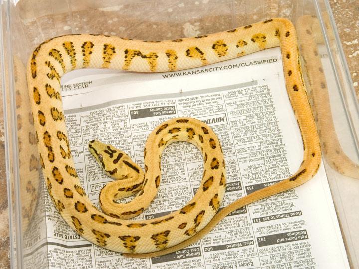 Coastal Carpet python for sale - TheFrilledDragon.com