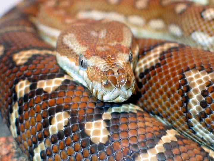 Hypo Bredli Carpet Python - Carpet Vidalondon