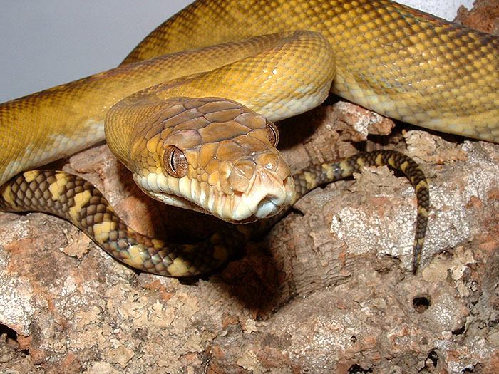 moluccan scrub python
