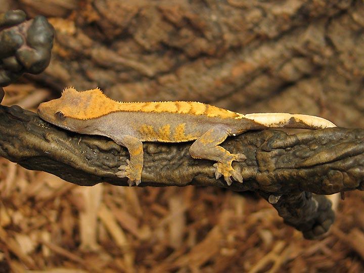 Crested Geckos - Brigh...