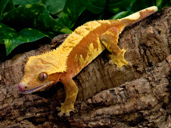 Crested Geckos - Red H...