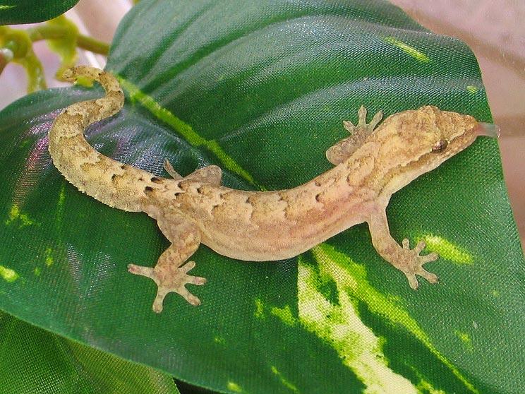 Lepidodactylus lugubris Lepidodactylus_lugubris-2