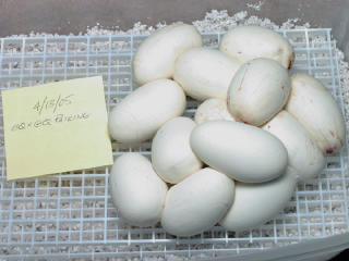 Note that the plastic grid keeps the eggs from touching the wet perlite below.