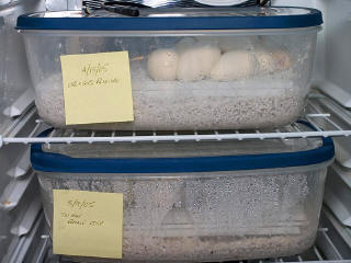 Side view of two incubating clutches.  Note the thermostat probe is simply resting on top of an egg box.