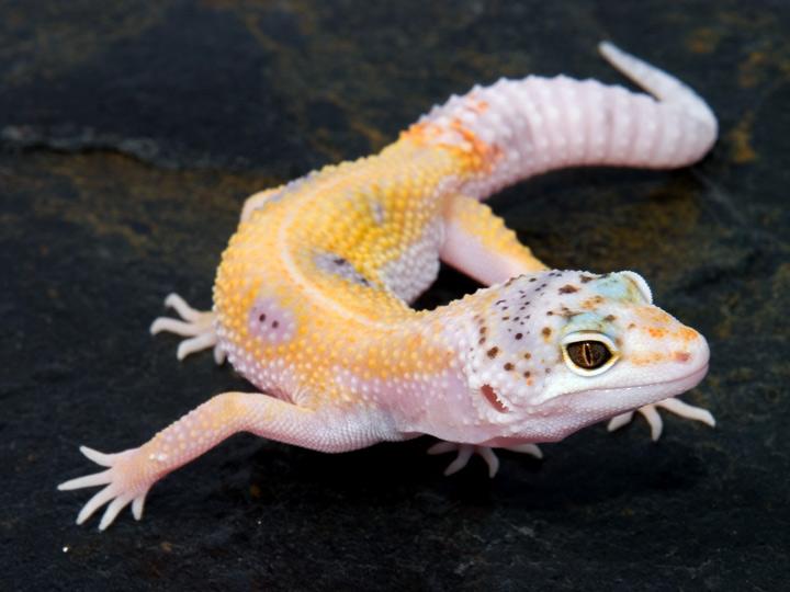 Fases de E. Macularius (Gecko Leopardo) Enigma_8-30-07b
