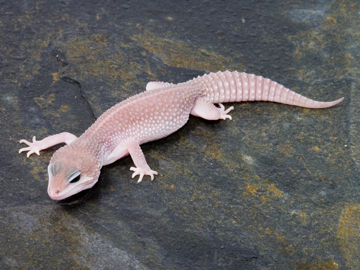 Baby midnight blizzard leopard gecko - photo#27