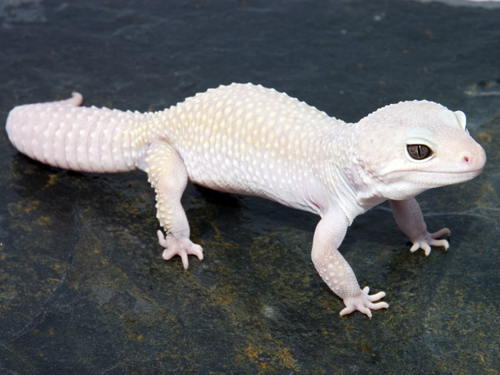Leopard Geckos | Aussie Pythons and Snakes