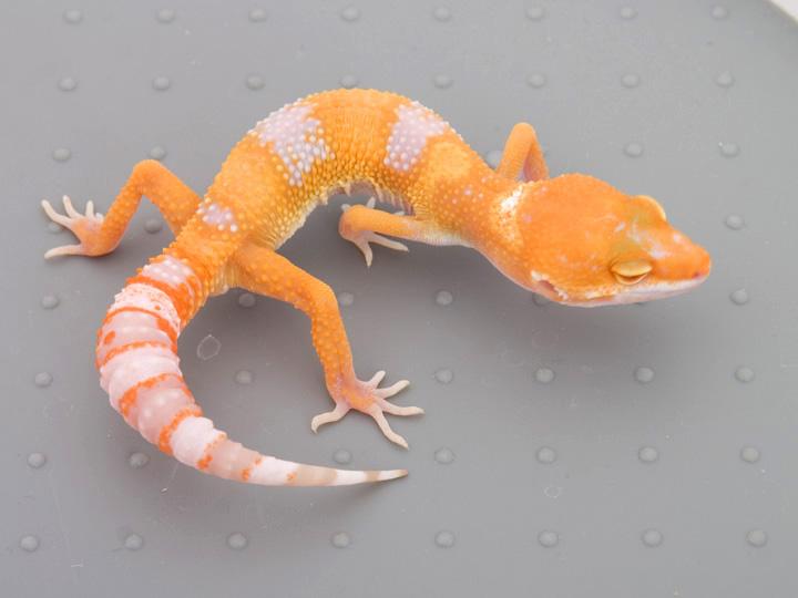Leopard Geckos - Tangerine Projects - ACReptiles com