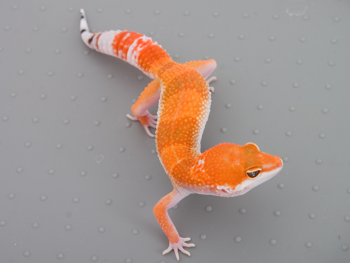 Tangerine Tornado Leop...