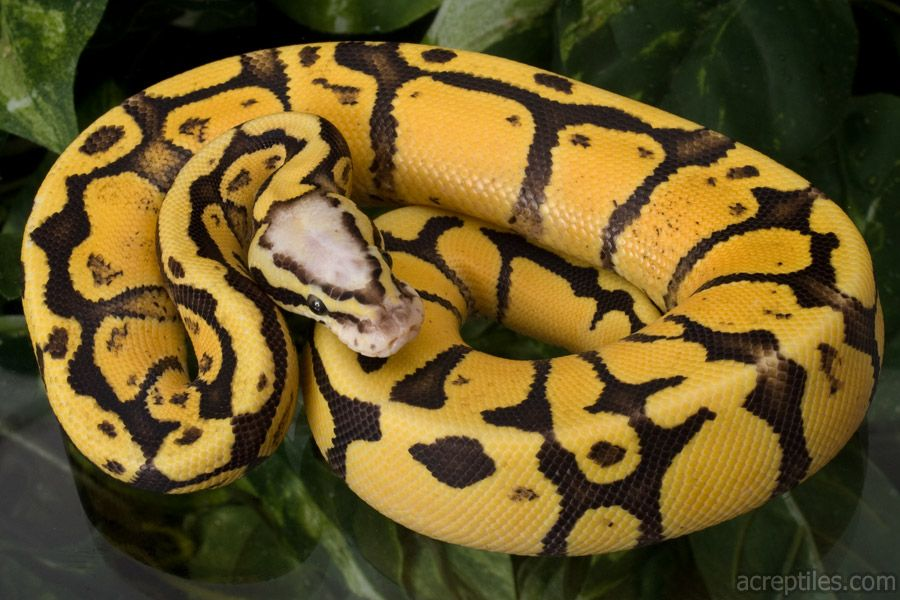 Pastel Ball Python Ball python collection