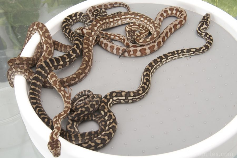 Id Black Snake Yellow Diamonds Pictures To Pin On