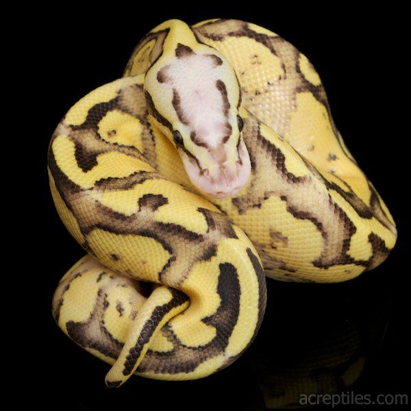Meet the Ball Python