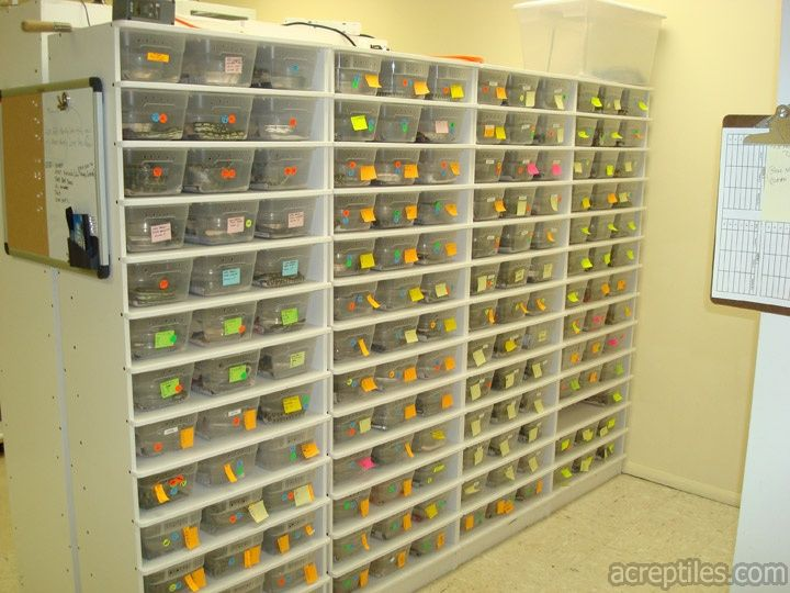 Rack system for housing hatchling to juvenile ball pythons and carpet pythons