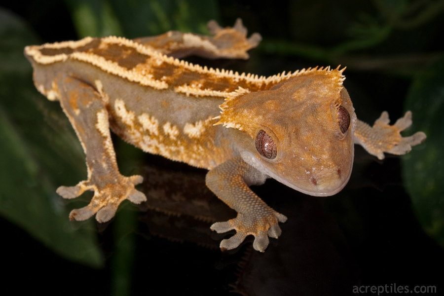 Meet the Crested Gecko - Rhacodactylus ciliatus