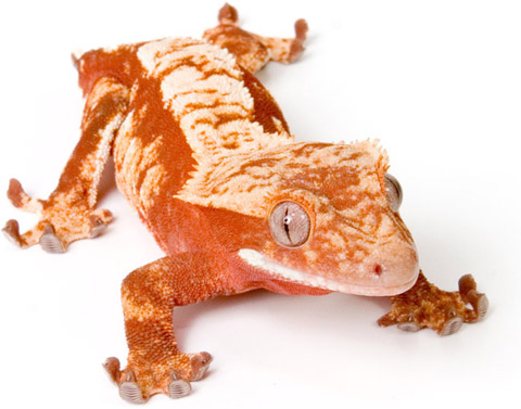What collector wouldn't want a gecko like this?