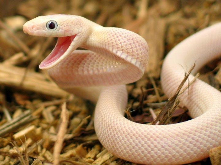 Texas Rat Snakes Reptile Forums