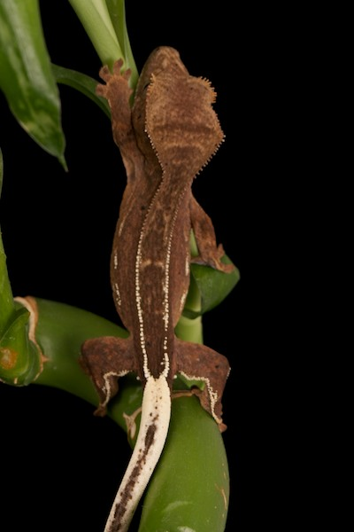 Phantom Pinstripe Crested Gecko with Highlighted Pinstripe Scales